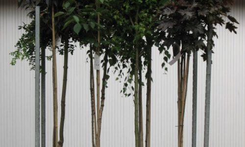 Hausbaumstämme, Hausbaum, Stämme, Acer, Catalpa, Ahorn, Baumschule Bunger