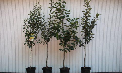 Naschbaum, Obstbaum, Buschobst, Obst, Apfel, Birne, Kirsche, Zwetsche, Pflaume, Pfirsich, Baumschule Bunger, Früchte