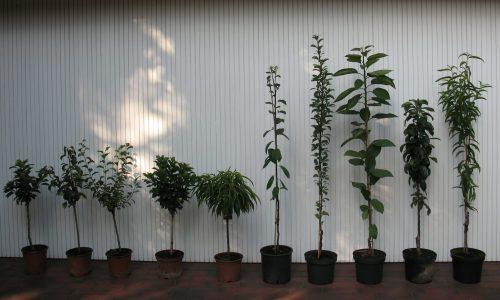 Säulen-und Zwergobst, Säulenobst, Naschobst, Säulenförmiges Naschbaum, Zwergobst, Kleiner Naschbaum, Baumschule Bunger