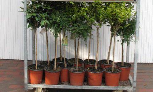 Stämmchen auf CC, Stämmchen Mix, Blütensträucher, Baumschule Bunger