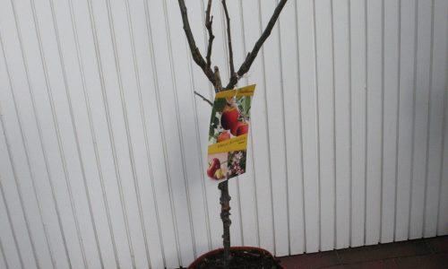 Terrassenobst, Apfel, Terassenobst, Naschbaum, Obst, Früchte, Baumschule Bunger